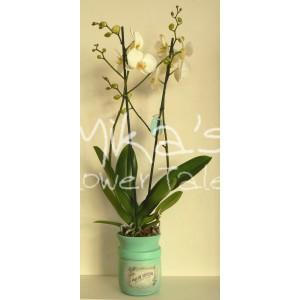 """Φυτό ορχιδέα """"Phalaenopsis"""" ΆΝΘΗ και ΦΥΤΆ"""